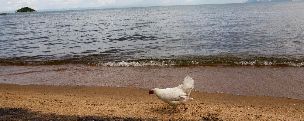 chickenholiday